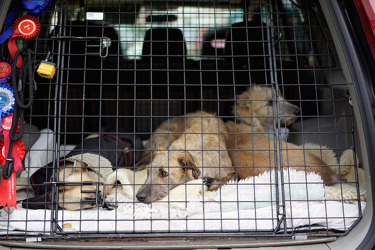 Three lurchers at a dog show waiting the back of the car