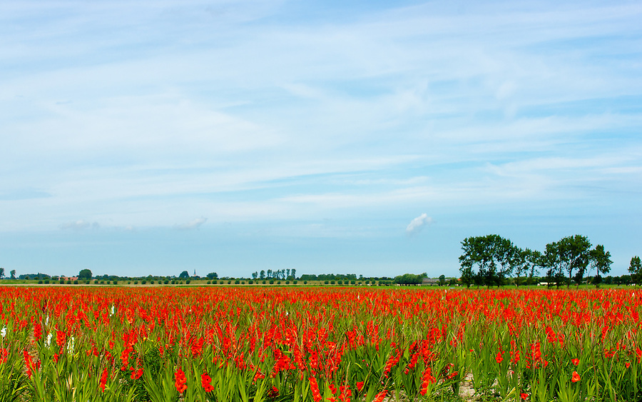 a field with red glodiolus in the summer