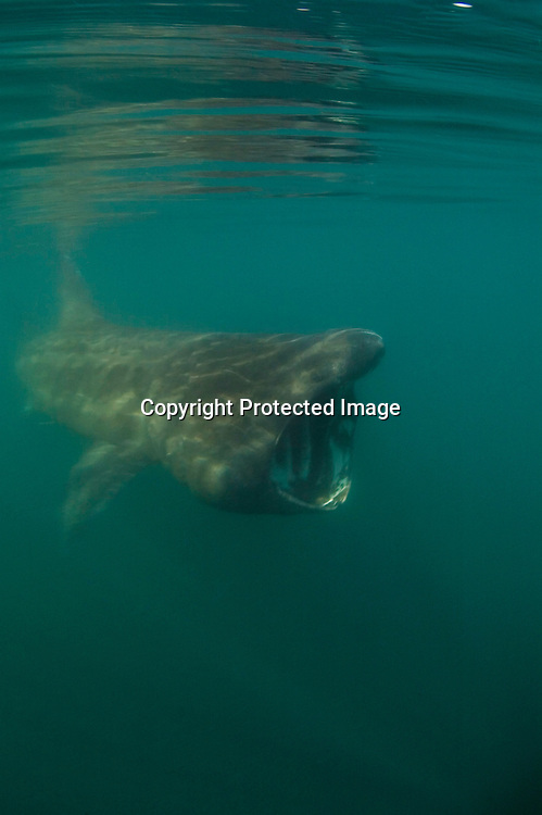 Basking Shark feeding on Plankton