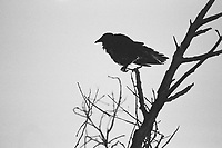 Crow, 35mm on Ilford Delta Film