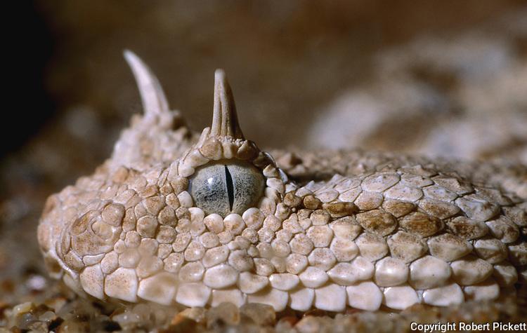 Desert Horned Viper, Cerastes cerastes, North Africa, close up of head, eyes, horns, scales, snake