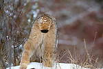 Canadian lynx, Montana
