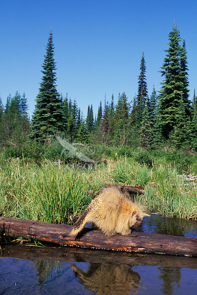 Porcupine crossing fallen log in beaver pond.  Western U.S.