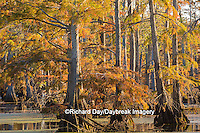 63895-14210 Baldcypress trees in fall, Horseshoe Lake State Fish and Wildlife Areas, Alexander Co., IL