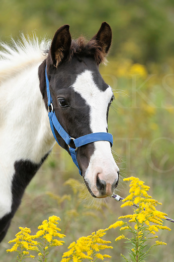 Horse in yellow goldenrod flowers, a Tennessee Walker black and white paint foal colt with wildflowers, close up.