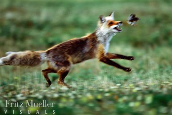 Red fox hunts a ptarmigan chick, ivvavik National Park, Yukon
