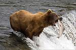 GRIZZLY BEAR.(URSUS ARCTOS).BROOKS FALLS KATMAI NATIONAL PARK AND RESERVE.ALASKA.07-03-2005.© PHOTO BY FITZROY BARRETT