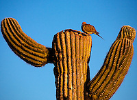 A mourning dove with a prickly perch atop a saguaro cactus near Tucson, Arizona.