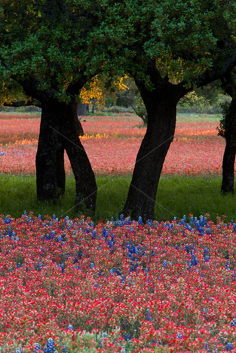 Beautiful arrangement of bright red Paintbrush and Bluebonnets around Texas Live Oak Trees in the Hill Country colorful assortment color