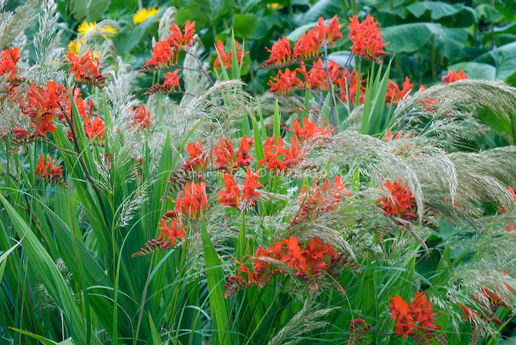 Crocosmia Lucifer in red flowers with blooming Stipa calamagrostis ornamental grasses