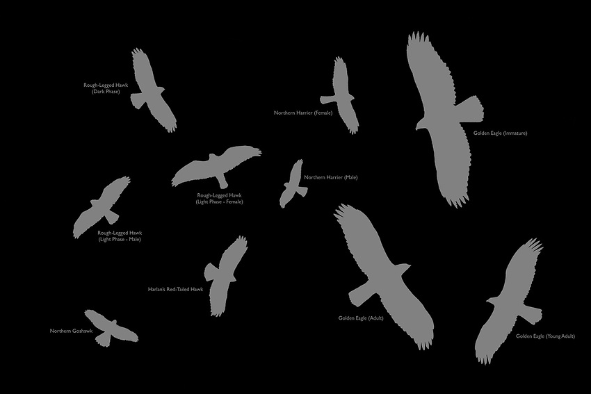 Identification guide for photo collage of raptors seen at the 2018 Gunsight Mountain Hawkwatch near Eureka, Alaska.