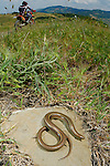 Italian Three-toed Skink (Chalcides chalcides) basking near a trail used by bikers, Italy.