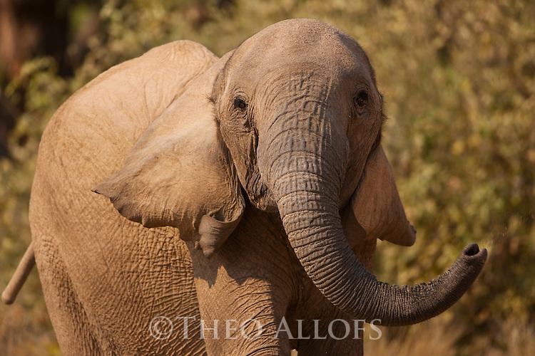 Namibia;  Namib Desert, Skeleton Coast,  desert elephant (Loxodonta africana) threatening pose