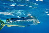 dorado, mahi mahi, or dolphin fish, Coryphaena hippurus, eating a bait fish, off Isla Mujeres, near Cancun, Yucatan Peninsula, Mexico (Caribbean Sea)