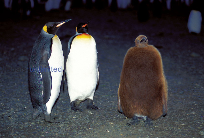 King Penguin (Aptenodytes patagonicus) Salisbury Plain, South Georgia Island