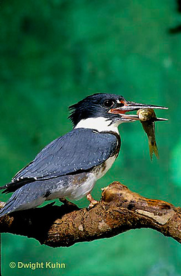 KG01-009z  Belted Kingfisher - with fish it just caught from stream - Megaceryle alcyon