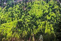 Alpine forest at Kranjska Gora, Juilan Alps, Triglav National Park, Upper Carniola, Slovenia
