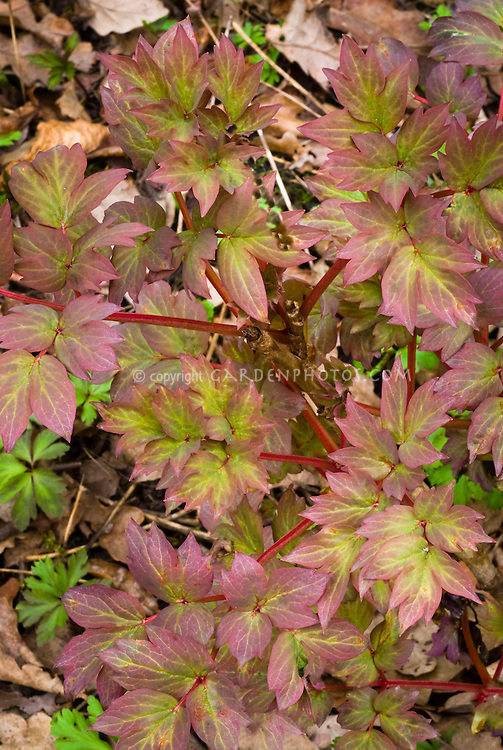 Paeonia suffruticosa 'Wu Long Peng Sheng' in new young growth spring color