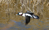 Duck - Bufflehead