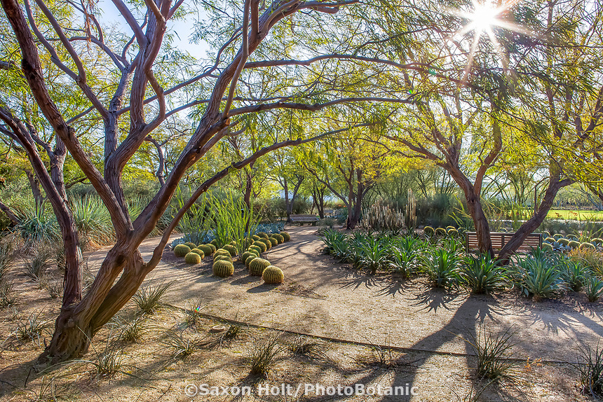 Sunlight streaming through Prosopis chilensis - Thornless Chilean Mesquite trees onto path with shadows, Sunnylands garden, Southern California