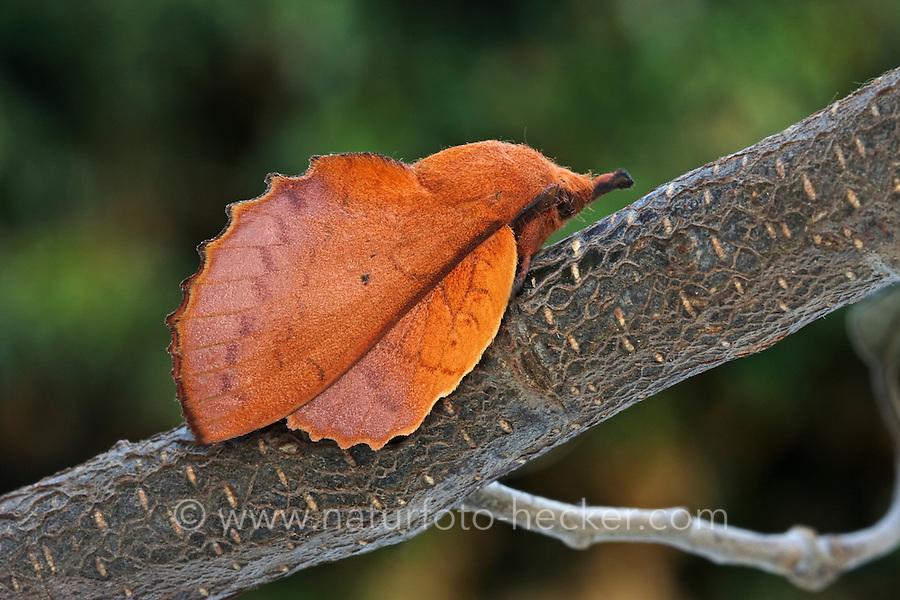 Kupferglucke, Gastropacha quercifolia, Phalaena quercifolia, lappet, La Feuille morte du chêne, Glucken, Lasiocampidae