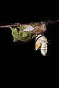 Indian Moon Moth / Indian Luna Moth {Actias selen} emerging from cocoon.  Captive. Sequence 4 of 24. website