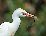 A cattle egret feasts on a gecko it has just caught.