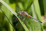 Wandering Glider (Pantaia flavescens), Whalen Lake Forest Preserve, Naperville, IL