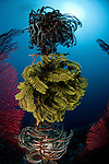 Gorgonian fan coral with crinoid.