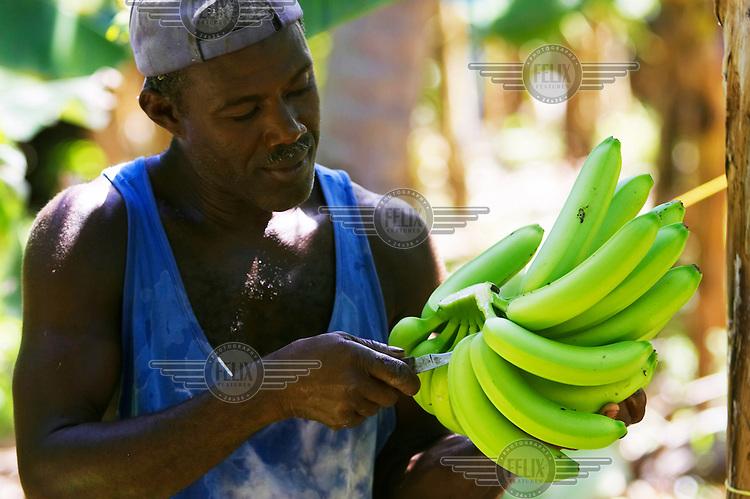 A farmer prepares Fairtrade bananas for British supermarket Sainsbury's, which now sells only Fairtrade bananas.
