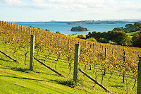 Autumn Vineyard on Waiheke Island, Auckland, North Island, New Zealand. Waiheke Island is a stunning island just 40 minutes ferry ride from the Auckland ferry terminal. It is an extremely popular island and holiday destination with both local New Zealanders and foreign tourists alike thanks to its 15 vineyards, beautiful beaches and picturesque scenery and walks. The Fullers Waiheke Island Explorer Tour is a great way to see a large part of the island, and at c.$40 (just over £20) including the ferry, its a great, affordable option.