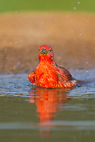 580980045 a wild male summer tanager pitanga rubra bathes in a small pond on the laguna seca ranch in the rio grande valley of south texas
