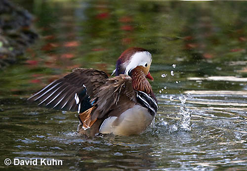 0310-1004  Drake (Male) Mandarin Duck Displaying Courtship Behavior, Aix galericulata  © David Kuhn/Dwight Kuhn Photography.