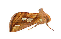 Gold Spot - Plusia festucae - 73.022 (2439)