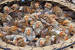 Fuzzy quail chicks are massed together in a hand-made basket covered with chicken wire. They are for sale at a local market in Yuanyang, China.