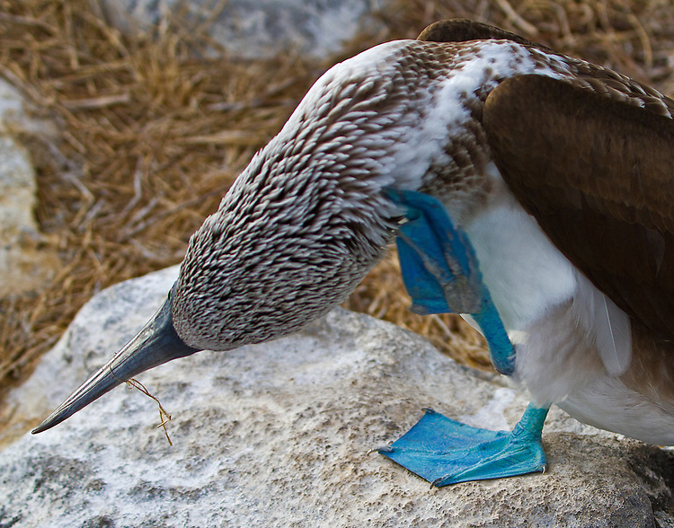 "A close up of a Blue-footed Booby standng on a whitish rock on its right foot while scratching its neck with the bent, middle ""finger and nail"" of its left foot. The flexibility a Booby has with its feet, ""fingers"" and nails is interesting and apparent. Note that the bird has straw around its beak. ."