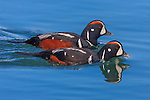 Harlequin ducks, Iceland