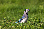 Blue Jay standing in the grass.