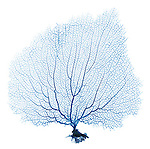 X-ray image of a purple sea fan (blue on white) by Jim Wehtje, specialist in x-ray art and design images.