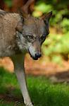 Wolf Juvenile, Close Portrait, Gray Wolf, Mount Ranier, Washington