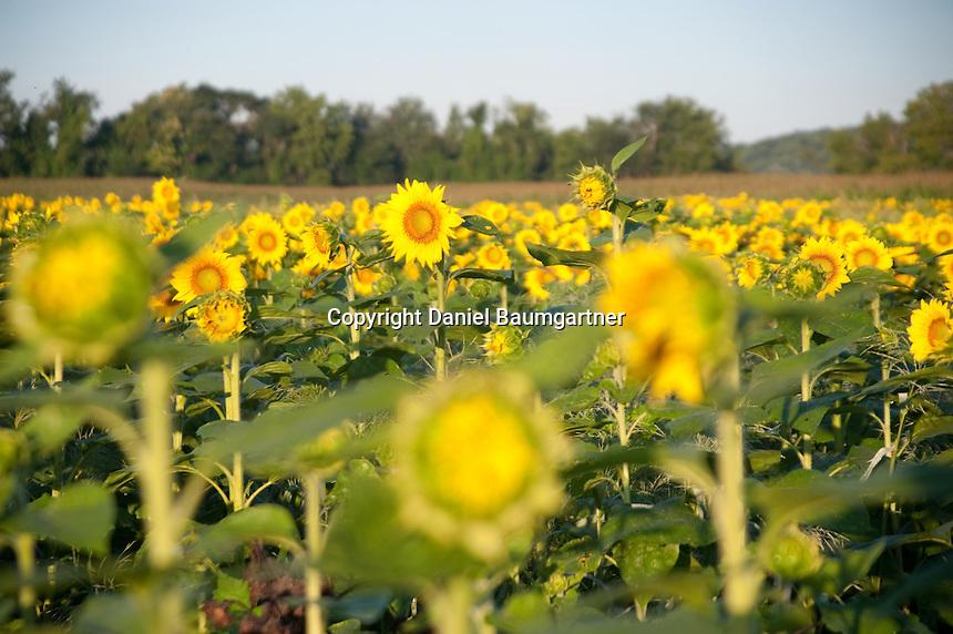 Sunrise Sunflower