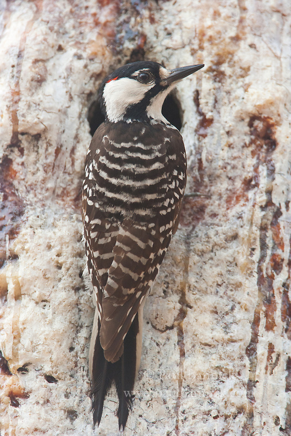 "A male Red-cockaded Woodpecker displays his rarely-seen red ""cockade"" at the entrance to his nest cavity. These woodpeckers protect their nest cavities by maintaining sap flow around the entrance, and thus require live pine trees that take several years to excavate a cavity in."