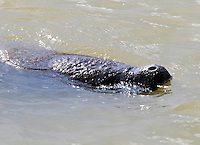 A manatee surfaces in the Florida Everglades and the 10,000 islands out of Chokoloskee Island. Photo/Andrew Shurtleff
