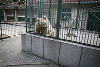 CHINA. Hubei Province. Wuhan. A in an enclosure in Wuhan zoo. In many of China's 'second-tier' cities, away from the modern zoos in the megacities of Beijing and Shanghai, hide a plethora of smaller unknown zoos. In these zoos, what can only be described as animal abuse is subtly taking place in the form of deprivation of light, space, sanitation and social contact with other animals. Living in awful conditions, these animals spend there days entertaining tourists who seem oblivious to the animals' plight and squalid existence. 2008.