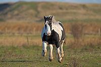 Galloping Shire Horse, Norfolk, UK