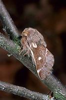 Wollafter, Frühlings-Wollafter, Birkennestspinner, Eriogaster lanestris, Bombyx lanestris, Small Eggar, bombyx laineux, laineuse du cerisier