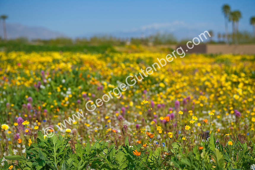 Desert wildflowers in foreground with back drop of mountains and palm trees out of focus