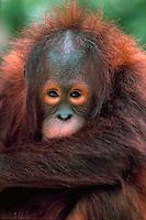 Bornean Orangutan, three years old, San Diego Zoo