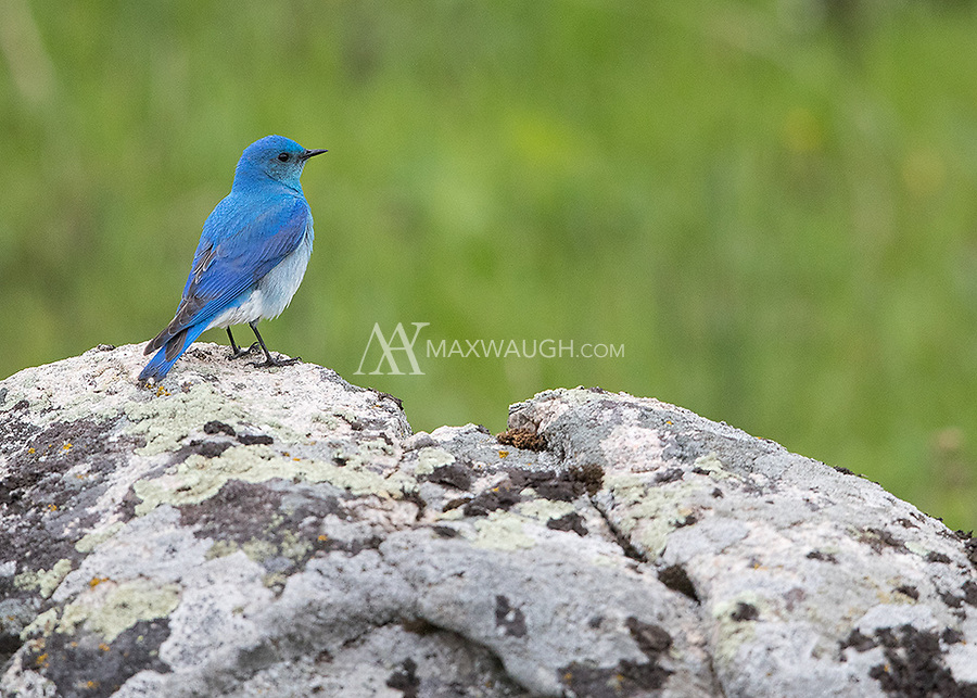 Bluebirds are always a welcome sight in spring.