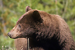 Cinnamon colored black bear in montana